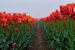 Tulip field on a misty day Royalty Free Stock Photo