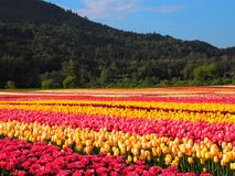 Tulip Field with Mountain Background Royalty Free Stock Images