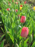 Tulip field with multi colored tulips Royalty Free Stock Photos