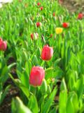 Tulip field with multi colored tulips Royalty Free Stock Image