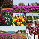 Tulip field with multicolored flowers collage, tulip festival in Royalty Free Stock Images