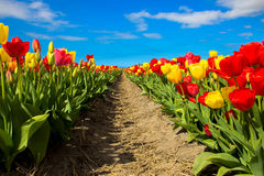 Tulip field. Multicolored tulips Stock Photography