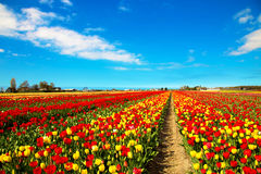 Tulip field. Multicolored tulips Royalty Free Stock Photo