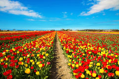Tulip field. Multicolored tulips. Royalty Free Stock Photo