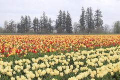 Tulip field with multiple kinds of tulips with different colors. White, red, yellow with a tree line in the background stock image