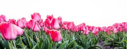 A tulip field near the Keukenhof in the Netherlands royalty free stock photography
