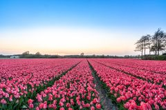 A tulip field near the Keukenhof in the Netherlands stock image