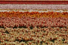 Tulip field near Lisse, South Holland Royalty Free Stock Images