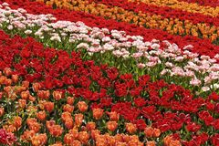Tulip field near Lisse, South Holland, Netherlands Stock Photo