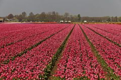 Tulip field near Lisse, South Holland, Netherlands Royalty Free Stock Photos