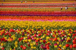 Tulip Field near Woodburn, Oregon. This is a field of tulips at Wooden Shoe Tulip Farm near Woodburn, Oregon.  Visitors are welcome to enjoy the flowers when Royalty Free Stock Image