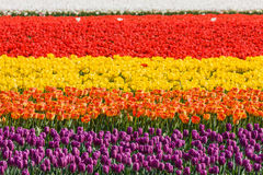 Tulip field. In the Netherlands Royalty Free Stock Image