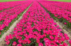 Tulip field. In the Netherlands Royalty Free Stock Photos