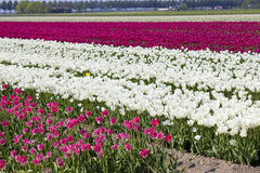 Tulip field, the Netherlands Stock Images