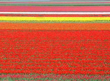 Tulip field in the Netherlands Royalty Free Stock Photos