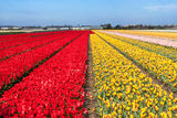 Tulip field in the Netherlands. In May is a local attraction for the tourists Royalty Free Stock Photography