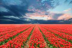 Tulip field in Netherlands Royalty Free Stock Photography