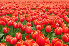 Tulip field in Netherlands Royalty Free Stock Image