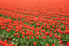 Tulip field in Netherlands Royalty Free Stock Photo