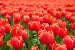 Tulip field in Netherlands Stock Photography
