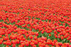 Tulip field in Netherlands Royalty Free Stock Images