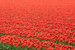 Tulip field in Netherlands Stock Image