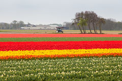 Tulip field in the Netherlands Stock Image