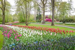 Tulip field in Netherlands Stock Photos