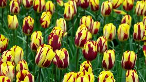 Tulip field in Netherlands. Spring tulip field in garden, Lisse, Amsterdam, Netherlands stock footage