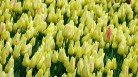 Tulip field in Netherlands. Spring tulip field in garden, Lisse, Amsterdam, Netherlands stock video footage