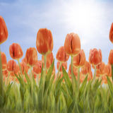 Tulip Field. Orange tulips on sunny sky background Royalty Free Stock Images