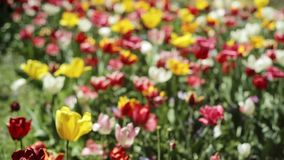 Tulip Field Out der Fokus-Sommer-Wiese, Hintergrund stock video