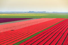 Tulip field overview Royalty Free Stock Photos