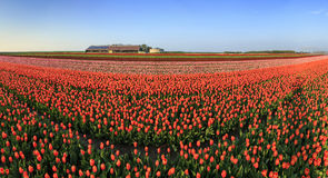 Tulip field panorama Stock Image
