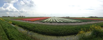 Tulip field panorama Stock Images