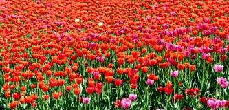 Tulip field panorama Royalty Free Stock Image