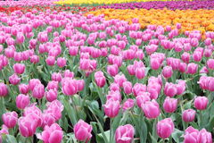 Tulip Field Stock Photos
