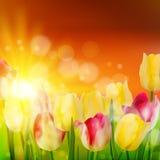 Tulip Field pendant le coucher du soleil. ENV 10 Images stock