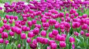 Tulip Field porpora Immagine Stock