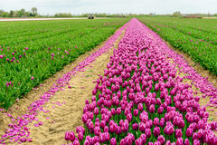 Tulip field with purple blooming flowers partially mechanized cu. Mechanized cut off the flower heads in the  tulip field of a specialized flower bulb nursery in Royalty Free Stock Photo