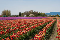 Tulip field with purple and red flowers Stock Photo