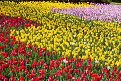 Tulip Field. Field of Purple, Yellow and red tulips Royalty Free Stock Photography