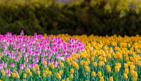 Tulip Field. Field of Purple and Yellow tulips Stock Image