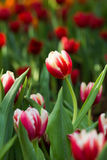 Tulip in the field Royalty Free Stock Photo