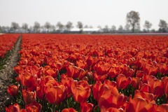 Tulip field. Red tulip field in bloom with trees in background Stock Image
