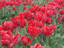 Tulip field. With red blossoms. Shallow depth of field Royalty Free Stock Photography