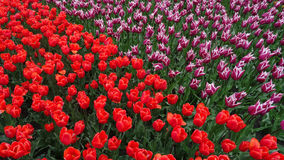 Tulip field red and purple Royalty Free Stock Photo