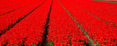 Tulip field. Red tulips. Flower field. Stock Photos