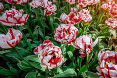 Tulip field, red and yellow, Keukenhof flower garden, Netherland Royalty Free Stock Image