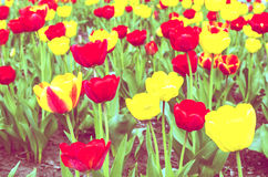 Tulip field. With red and yellow tulips Royalty Free Stock Photo